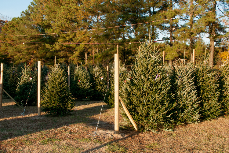 Christmas Tree Farms Near Me Richmond Holly Berry